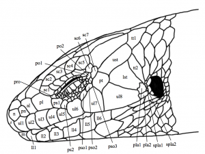 Head scales of Plestiodon skiltonianus, illustration by Andrew Frank